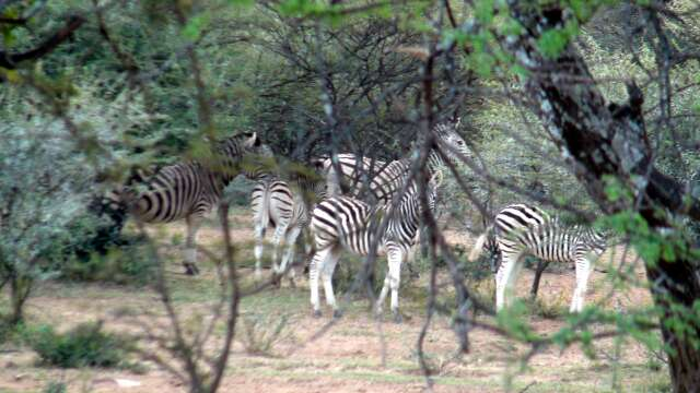 Zebras waiting for The Ball to arrive